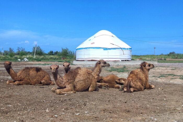 Верблюди на сільському подвір'ї